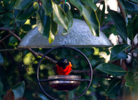 Red Color Variation Baltimore Oriole