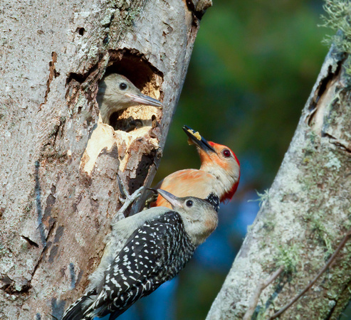 Two Fledglings/Red-bellied Woodpecker Fledglings