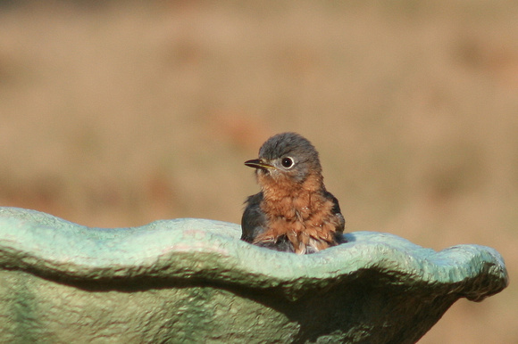 Female Bluebird, Bathing