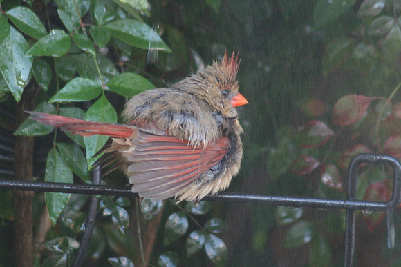 Female Northern Cardinal, Bathing