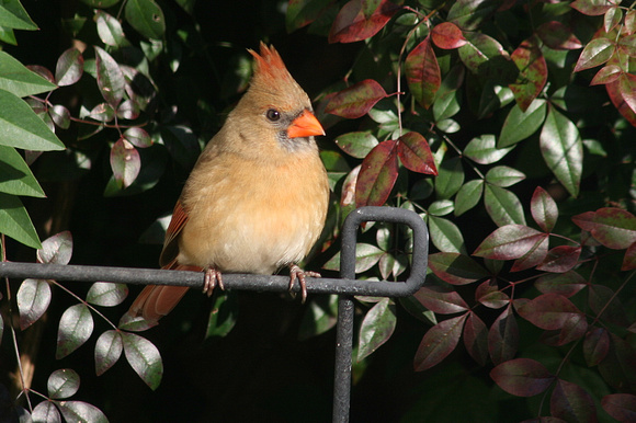Female Northern Cardinal #1