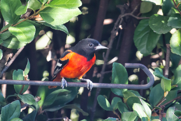 Red Color Variation Baltimore Oriole #3
