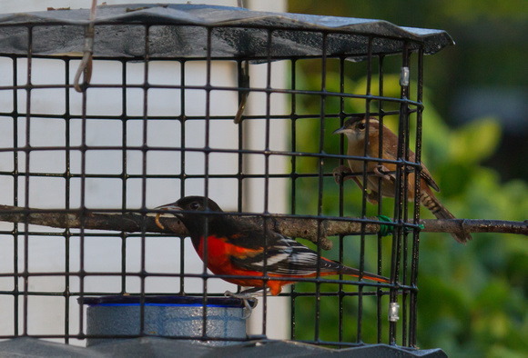Red Color Variation Baltimore Oriole #2
