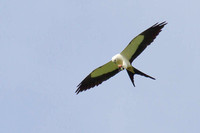 Swallow-tailed Kite With Dinner