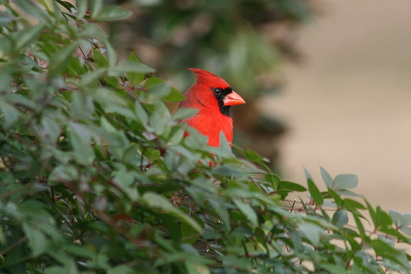 Male  Cardinal On Nandina