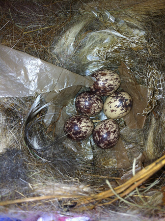 Great-crested Flycatcher Eggs