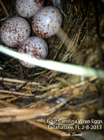 2013 Carolina Wren Nesting Attempt