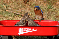 "Bluebird Fledglings On ""Lil Red Wagon"""